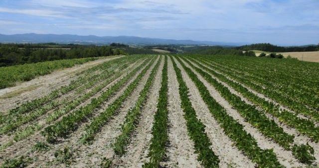 農産物情報 2018年8月8日(今日も快晴)