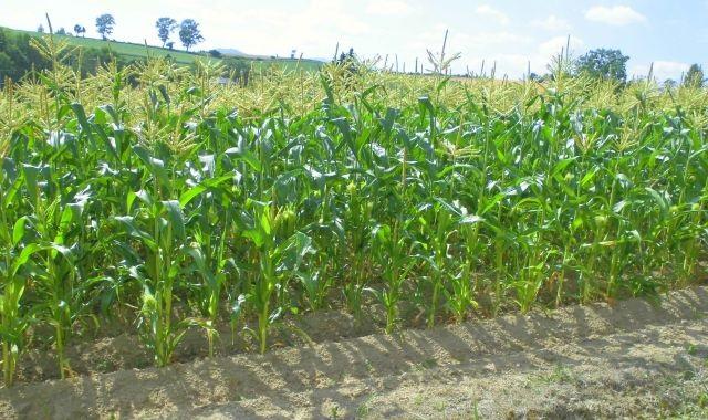 農産物情報 2020年7月30日